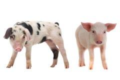 dwie świnie Zdjęcia Stock