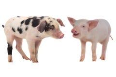 dwie świnie Fotografia Royalty Free