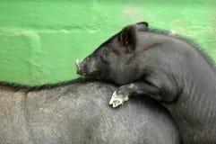 dwie świnie krycia Obraz Stock