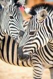 dwie zebry Zdjęcie Royalty Free