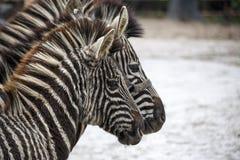dwie zebry Rodzina zebra stojaka strona strona - obok - Zebry zakończenie zebra afrykański Zdjęcia Stock