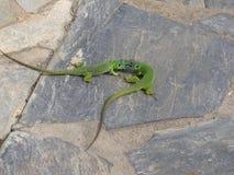Dwie zielone jaszczurki 免版税图库摄影