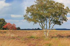 Dwingelderveld in Drenthe in the Netherlands. National park. National park Dwingelderveld, heathland, field in Drenthe with trees grasses and heath. The Royalty Free Stock Photos