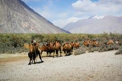 Dwoiści garbów wielbłądy Zdjęcia Royalty Free