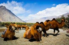 Dwoiści garbów wielbłądy Fotografia Royalty Free