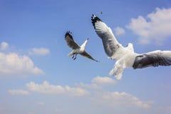 Dwoiści latający seagulls Obraz Royalty Free