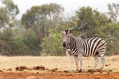 Dwoista zebra przygląda się - Dwa zebry pozyci obok each inny Fotografia Royalty Free