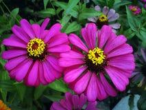 Dwoiste purpury cynia kwiat Fotografia Stock