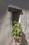 Dwoistego okwitnięcia Tuberous begonie w garnku na windowsill Zdjęcia Royalty Free