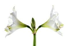 Dwoisty biały amarylka kwiat Hippeastrum, symetryczny zbliżenie Zdjęcia Stock