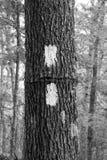 Dwoisty Biały blask na Appalachian śladzie Obraz Royalty Free