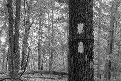 Dwoisty Biały blask na Appalachian śladzie Zdjęcie Stock