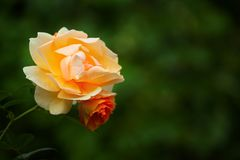 Dwoisty Czerwony kolor żółty róży jesieni ogród obraz royalty free