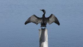 Dwoisty Czubaty kormoran na drewnianej palowanie osuszce uskrzydla zdjęcie wideo