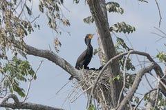 Dwoisty Czubaty kormoran na swój gniazdeczku Zdjęcia Royalty Free