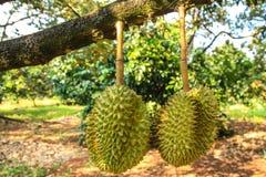 Dwoisty durian Fotografia Royalty Free
