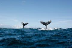 Dwoisty Humpback wieloryba ogon Zdjęcia Royalty Free