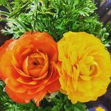 dwoisty kwiat Fotografia Royalty Free