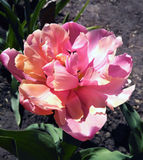 Dwoisty opóźniony tulipan nazwany Angelique Zdjęcia Stock