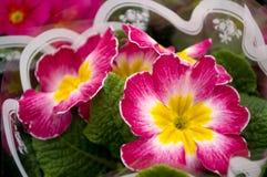 Dwoisty pierwiosnek barwił farbę, łaciny ` imię Primula vulgaris ` obraz stock
