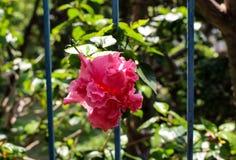 Dwoisty Różowy poślubnika kwiat ono przygląda się przez dokonanego żelaza poręczy Obrazy Royalty Free