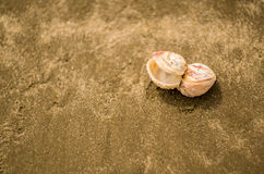 Dwoisty seashell Obrazy Stock