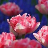 Dwoisty tulipanowy brzoskwini okwitnięcie Obraz Stock