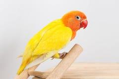 Dwoisty Żółty Lovebird Zdjęcie Stock