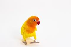 Dwoisty Żółty Lovebird Obrazy Stock