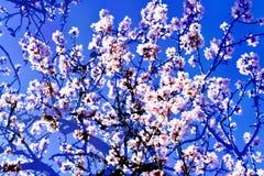 Dwoisty ujawnienie migdałowi drzewa w pełnym kwiacie Obraz Stock