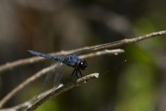 Dwuczłonowi oczy Męski Łupkowaty Cedzakowy Dragonfly Zdjęcie Stock