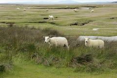 Dwyryd Estuary sheep in Wales. Grazing salt marsh lambs, sheep on the River Dwyryd Estuary, Gwynedd in North Wales, UK Royalty Free Stock Photo