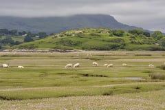 Dwyryd Estuary sheep in Wales. Welsh lambs, sheep grazing salt marshes on the River Dwyryd Estuary, Gwynedd in North Wales, UK Royalty Free Stock Photos