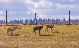 Dybowski deer (Sika deer). Photographed in animal park Royalty Free Stock Photo