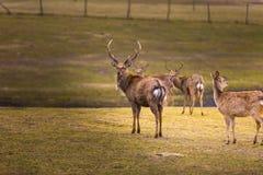 Dybowski deer (Sika deer). Photographed in animal park Royalty Free Stock Image