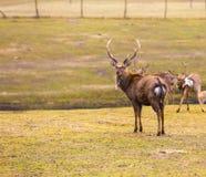 Dybowski deer (Sika deer). Photographed in animal park Stock Photos