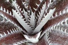 Dyckia Royalty Free Stock Photo