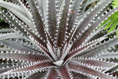 Dyckia Stock Photo