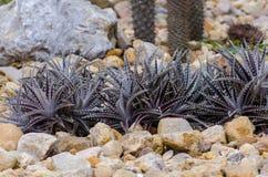 Dyckia nombrado cactus Arizona Foto de archivo libre de regalías