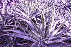 Dyckia. Photo of succulent plants with long leaves and radial rosette. Natural background Royalty Free Stock Photos