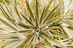 Dyckia silver black cactus that Stock Images