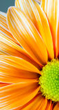 Dyed Daisy Flower White Orange Petals Green Carpels Close up Royalty Free Stock Image