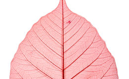 Dyed dry peepal leaf Stock Photography
