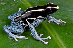 Dyeing dart frog stock photography