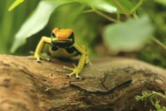 Dyeing dart frog Royalty Free Stock Photos