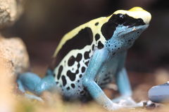 Dyeing dart frog. The sitting dyeing dart frog stock photography