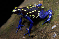 Dyeing dart frog, Dendrobates tinctorius, Bakhuis Suriname. The Dyeing dart frog, Dendrobates tinctorius is found in the upper Amazon region, mainly Suriname and royalty free stock images