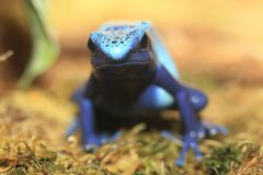 Dyeing dart frog. In the moss royalty free stock image