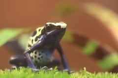 Dyeing dart frog Stock Image