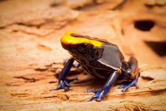 Dyeing dart frog, tinc or dendrobates tinctorius lorenzo. Is a poisonous poison arrow frog from the amazon rain forest in Brazil, French guyana an Suriname royalty free stock photo